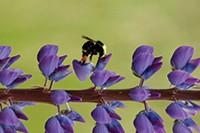 Bekijk details van Bijen en hommels